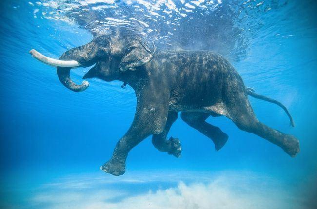 elephant-swimming